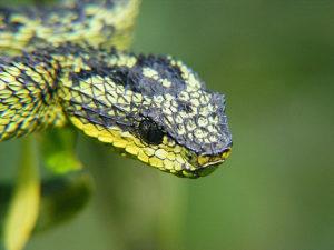Horned Bush Viper Green