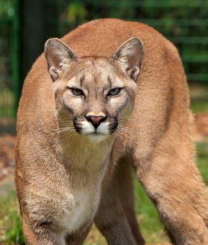 cougar-mountain-lion-puma-concolor-big-cat-53001
